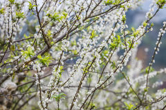 Plum flower in the forest Royalty Free Stock Photos