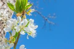 Plum flower Stock Photography