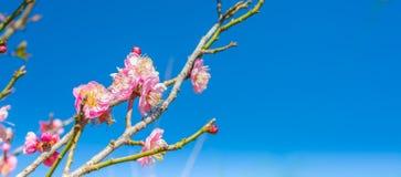 Plum flower Royalty Free Stock Photography