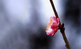 Plum. The plum flower open is very gorgeous Stock Images