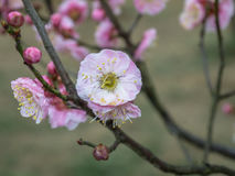 Plum flower. Phillips , also known as MUI , alias: Chun Mei , and dried plum , and Plum , and ebony , Rosaceae , and apricot are small trees and rare shrubs Royalty Free Stock Images