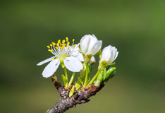 Plum flower in the spring Stock Images