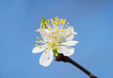 Plum flower in the spring Royalty Free Stock Images