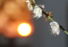 Plum flower and sunset Stock Photos