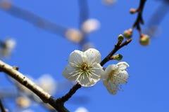 Plum flower ,Taiwan. Plum flowers under the blue sky ,Taiwan Stock Photography