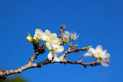 Plum Flower in Thailand Royalty Free Stock Photo