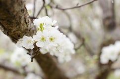 Plum flower. Plum tree bloomed in spring Stock Image