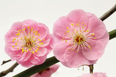 Plum flower Stock Photos