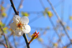 Plum Flower. White Plum Flower with Blue Sky Stock Photography