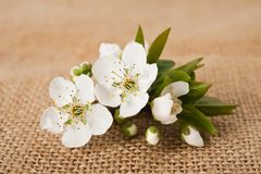 Plum flowering Royalty Free Stock Images