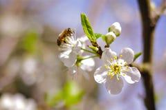 Plum Flowers Lizenzfreies Stockbild