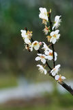 Plum flowers. White plum flowers in  blossom Stock Photography