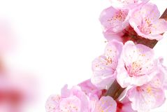 Plum flowers. On the white,Closeup Stock Images