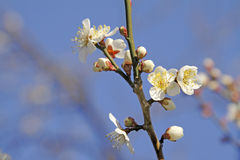 Plum flowers. Image of a twig with some plum flowers over the blue sky Stock Photo