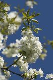 Plum flowers. Photo of plum flowers a warm and sunny day in spring Royalty Free Stock Image