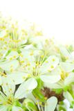 Plum flowers. Merging with light background - vertical Stock Images