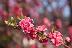 Plum flowers. This is a picture of plum flowers is typical of the spring flower of Japan Royalty Free Stock Photos