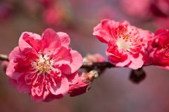 Plum flowers. This is a picture of plum flowers is typical of the spring flower of Japan Royalty Free Stock Photography