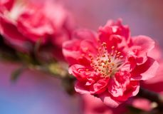 Plum flowers. This is a picture of plum flowers is typical of the spring flower of Japan Royalty Free Stock Images