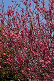 Plum flowers. This is a picture of plum flowers is typical of the spring flower of Japan Stock Photo