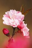 Plum flowers. Close-up image of plum flowers in outside Stock Image