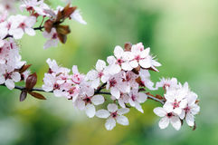 Plum flowers Royalty Free Stock Images
