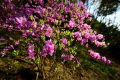 Plum Flowers Arkivbilder