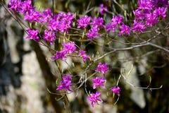 Plum Flowers Arkivfoto