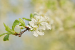 Plum Flowers Fotografie Stock