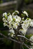 Plum Flowers Stockbild
