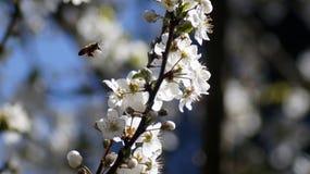 Plum Flowers & api, tempo di molla in Italia del nord fotografia stock libera da diritti