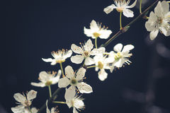 Plum flowers. With black background Royalty Free Stock Photo