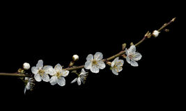 Plum flowers on black. Stock Images