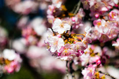 Plum Flowers. In bloom at the start of spring in Tokyo, Japan Royalty Free Stock Photo