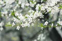Plum flowers. Blossoming of plum flowers in spring time with green leaves, macro Stock Image