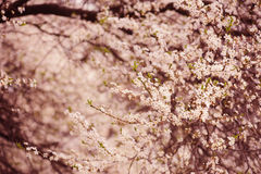 Plum flowers Royalty Free Stock Photos