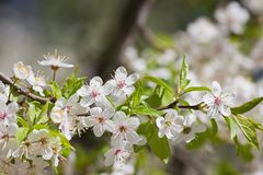 Plum  flowers. Plum with blossoming white flowers closeup Stock Photo