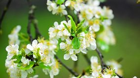 Plum flowers blowing in the wind stock video footage