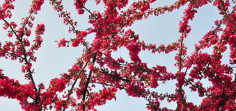 Plum Flowers and Blue Sky Stock Images