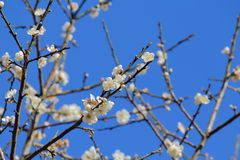 Plum Flowers On Branch With Blue Sky Background Stock Photos