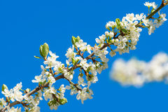 Plum flowers on a branch with blue sky Stock Images