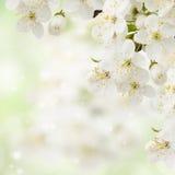 Plum  Flowers in green garden. Blossoming plum   flowers on green garden background Stock Photo
