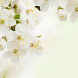 Plum  Flowers in green garden close up. Blossoming plum   flowers  close up on green garden background Stock Photography
