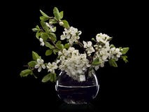 Plum Flowers In Glass Vase Stock Images