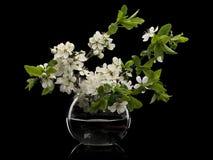 Plum Flowers In Glass Vase Stock Photo