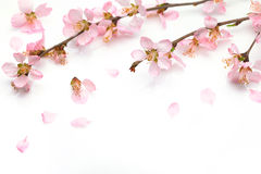 Plum flower Stock Photography