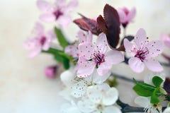 Plum flowers opening in spring time. A plum is a fruit of the subgenus Prunus of the genus Prunus stock photography