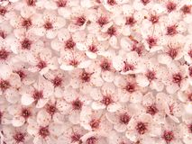 Plum Flowers Pattern II Royalty Free Stock Photo