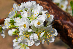 The plum flowers Royalty Free Stock Image