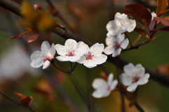 Plum flowers Stock Photography